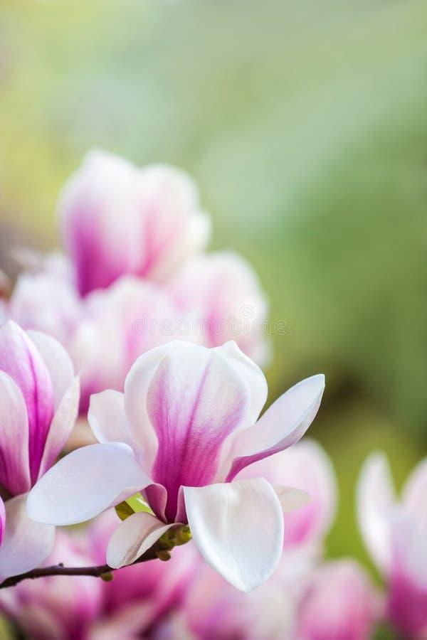 Magnolia rosa del fiore fotografie stock libere da diritti
