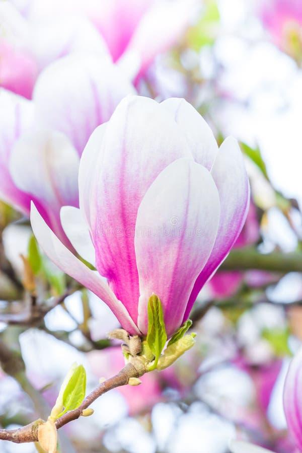 Magnolia rosa del fiore immagine stock
