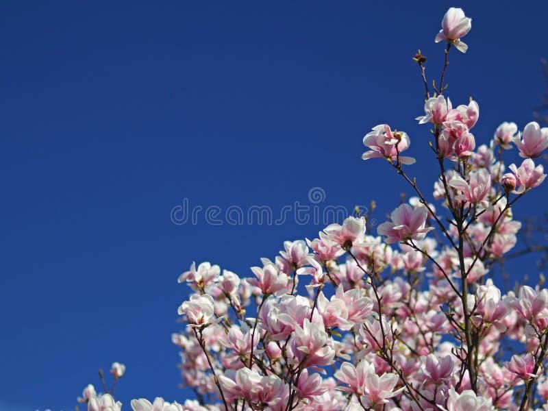 Magnolia rosa di fioritura contro un chiaro cielo blu Giardino della sorgente Umore gioioso che sveglia vita Bellezza di paradiso immagini stock