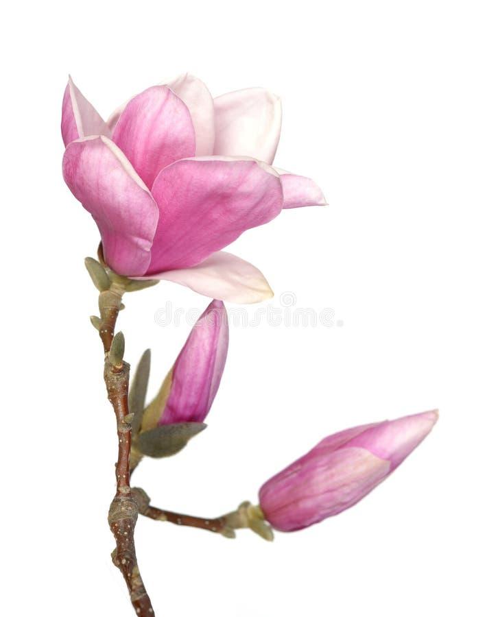 Magnolia rosa immagine stock libera da diritti