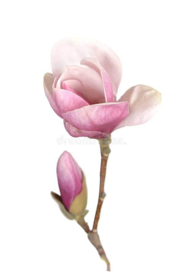 Magnolia rosa fotografie stock