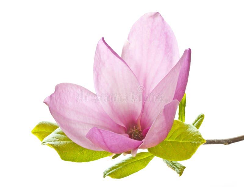 Magnolia rosada imagen de archivo libre de regalías