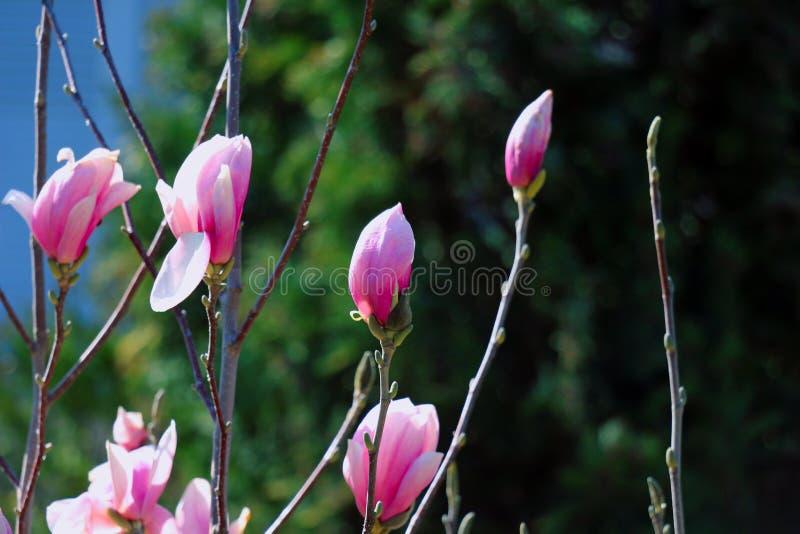 Magnolia rosada en un fondo oscuro, fotografía de archivo libre de regalías