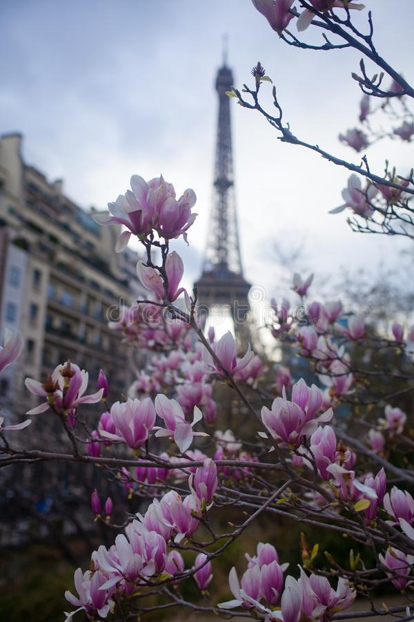 Magnolia rose en pleine floraison et Tour Eiffel au-dessus du ciel bleu image stock