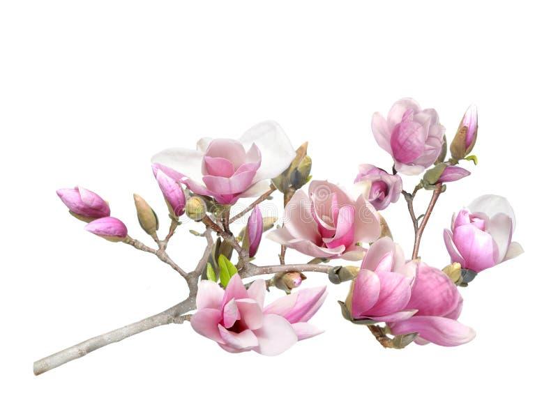 Magnolia rose photo stock