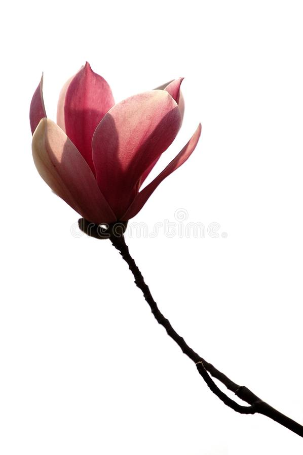 Magnolia roxo fotos de stock royalty free