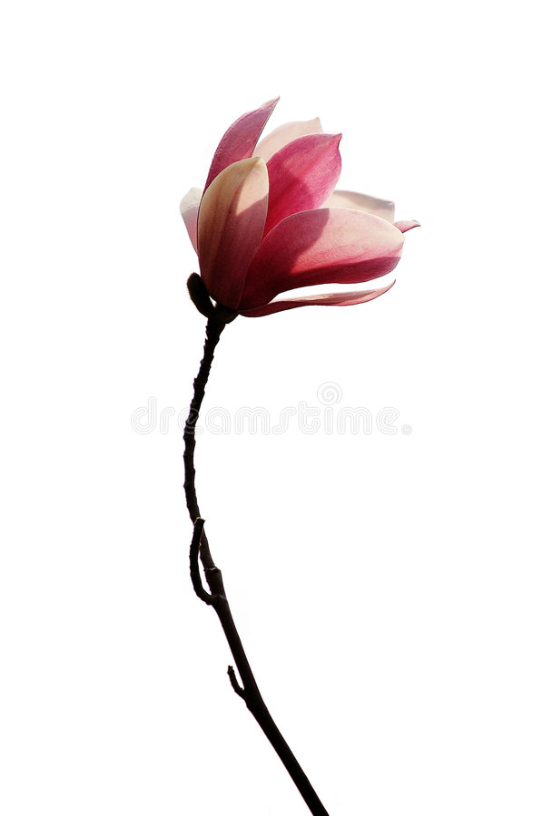 Magnolia roxo imagem de stock royalty free
