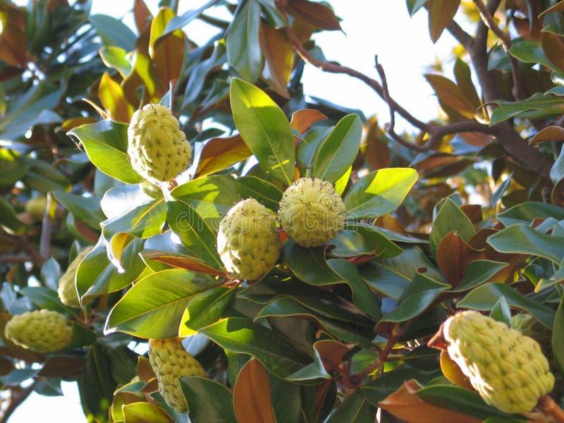 Download Magnolia's fruits stock photo. Image of linn, fetal, leaves - 511088