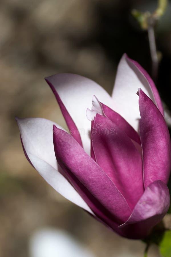 magnolia solitário imagem de stock royalty free