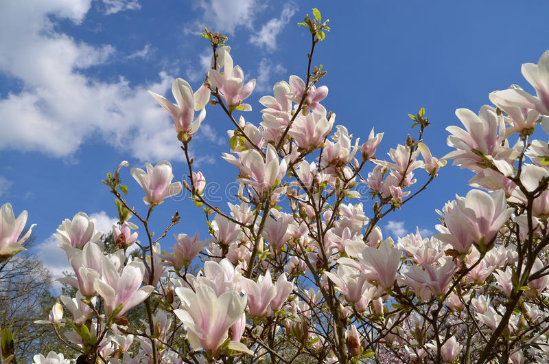 Magnolia X Soulangeana imagem de stock royalty free