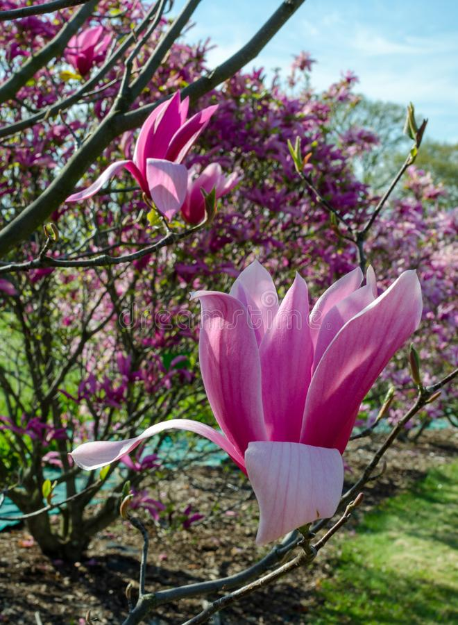 Magnolia `Spectrum` pink flower. royalty free stock images