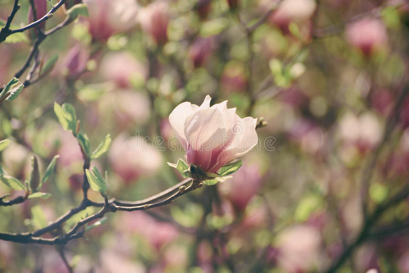 Download Magnolia Spring Flowers Stock Photo - Image: 83705880