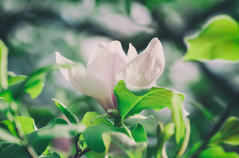 Download Magnolia Spring Flowers Stock Photo - Image: 83715239