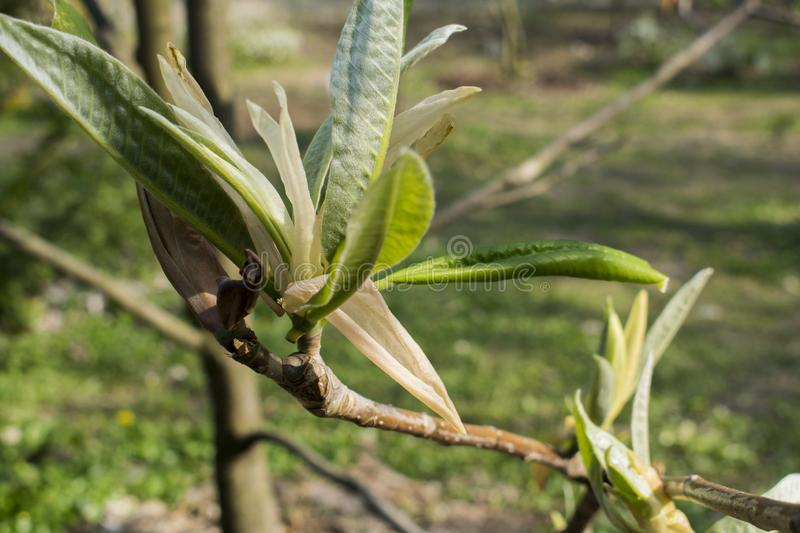 Magnolia. Spring nature. Dry flower and seeds.  stock photos