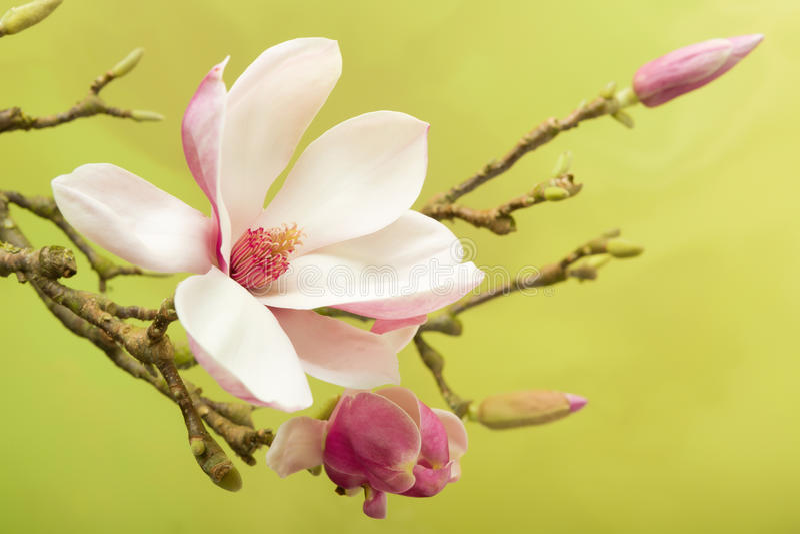 Magnolia stamen royalty free stock image