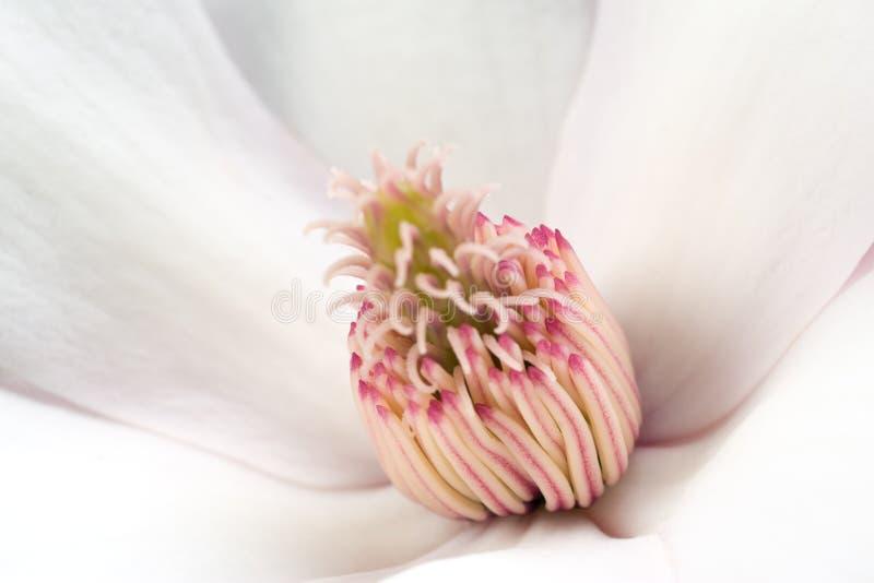 magnolia stamens στοκ εικόνες με δικαίωμα ελεύθερης χρήσης