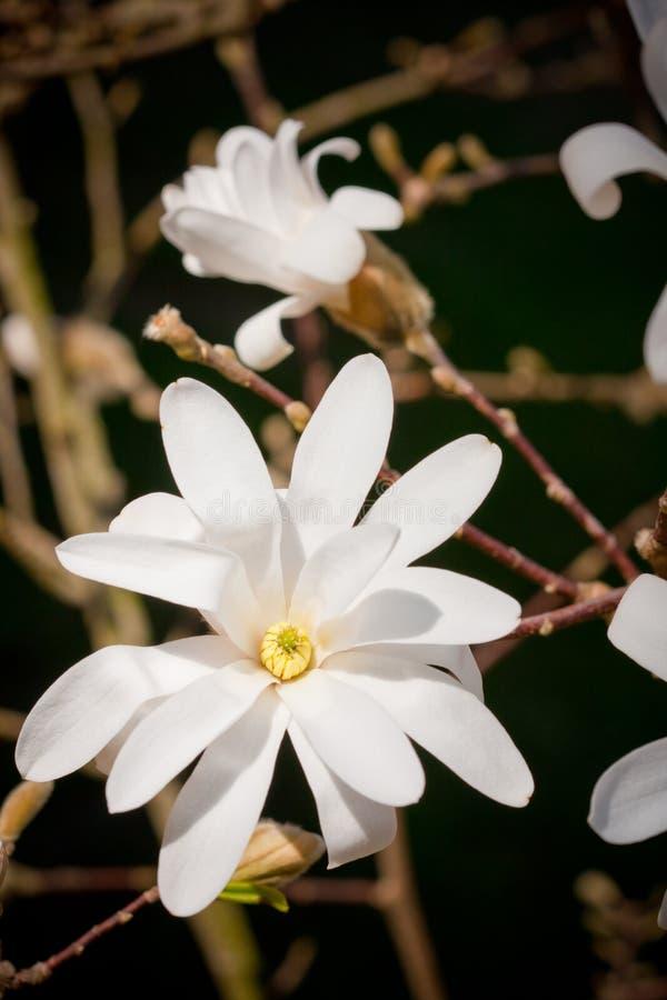 Magnolia Stellata Royalty Free Stock Photo