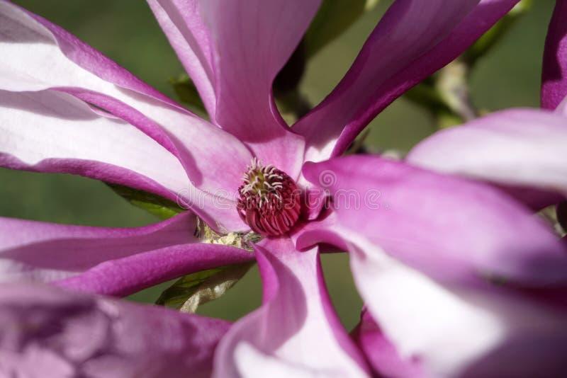 Magnolia Stellata ` Jane Platt `, als Stermagnolia die algemeen wordt bekend royalty-vrije stock foto