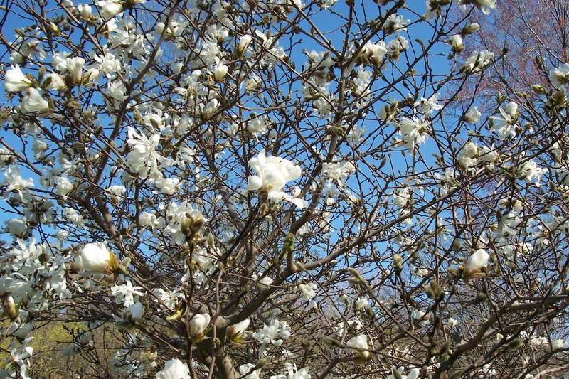 Download Magnolia Tree stock image. Image of buds, petal, growth - 105873