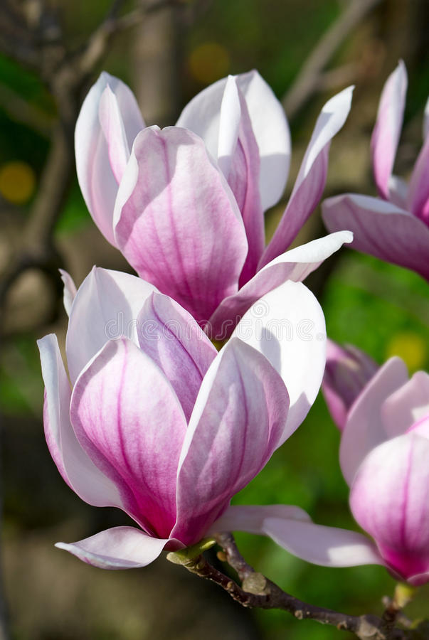 Magnolia tree. Spring magnolia tree blossoms in the garden stock images