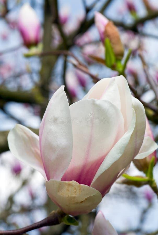 Magnolia-tree Stock Photos
