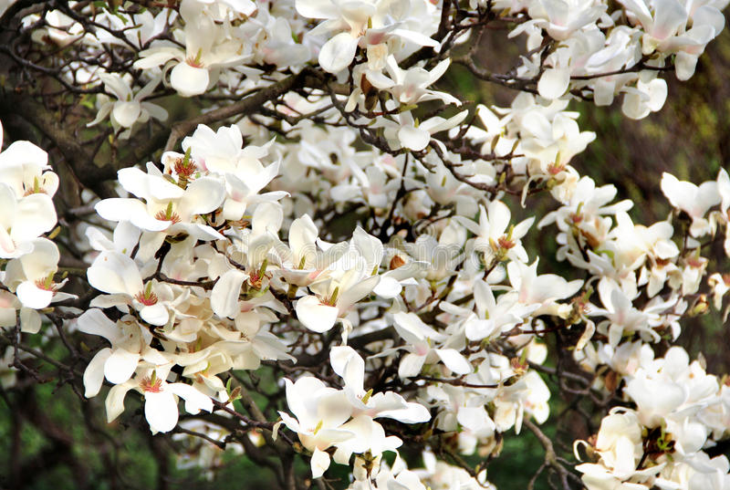 Magnolia tree in bloom. Beautiful magnolias in bloom with beautiful big flowers royalty free stock photos