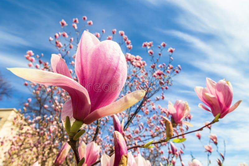 Magnolia tree in blossom royalty free stock photos