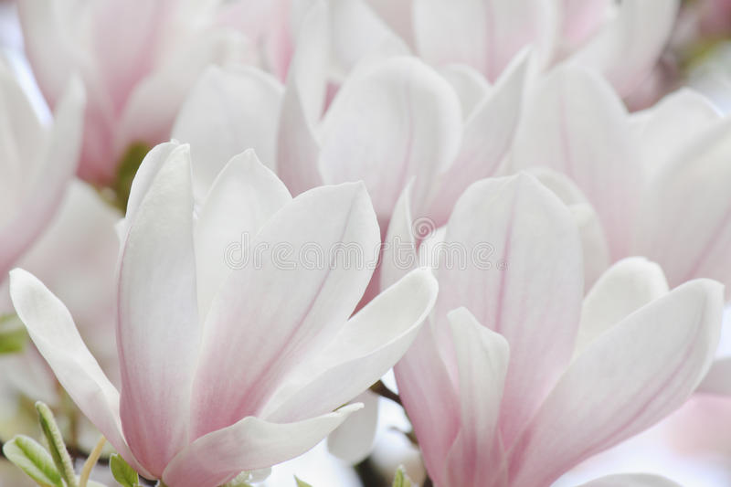 Download Magnolia tree blossom stock photo. Image of bloom, saucer - 30823096