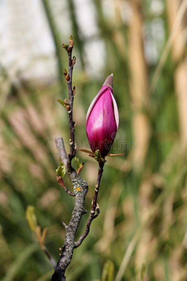 Magnolia tree branch with single large flower bud starting to open and show beautiful purple petals planted in local garden. On warm sunny spring day royalty free stock photography