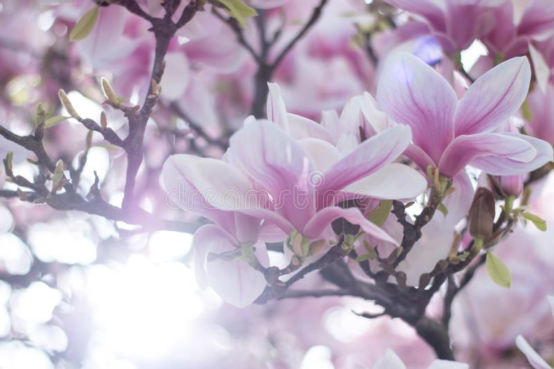 Magnolia tree flowers blossom in spring , sunshine. Beautiful magnolia blossom in a park, spring, sunshine flower feminine springtime tree branch head nature stock photo