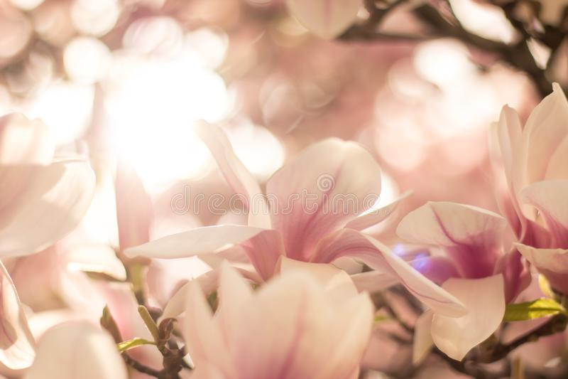 Magnolia tree flowers blossom in spring , sunshine. Beautiful magnolia blossom in a park, spring, sunshine flower feminine springtime tree branch head nature stock photography