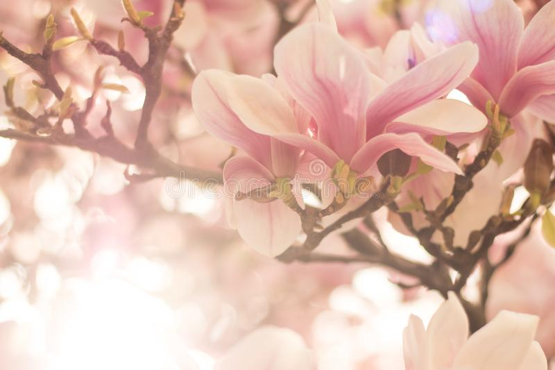 Magnolia tree flowers blossom in spring , sunshine. Beautiful magnolia blossom in a park, spring, sunshine flower feminine springtime tree branch head nature stock image
