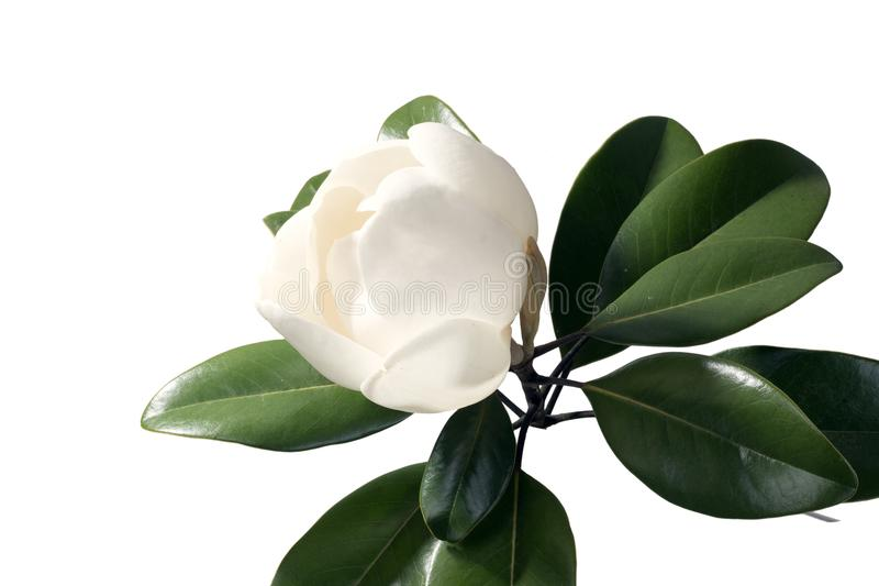 Magnolia tree opening a huge bud isolated on white background royalty free stock photography