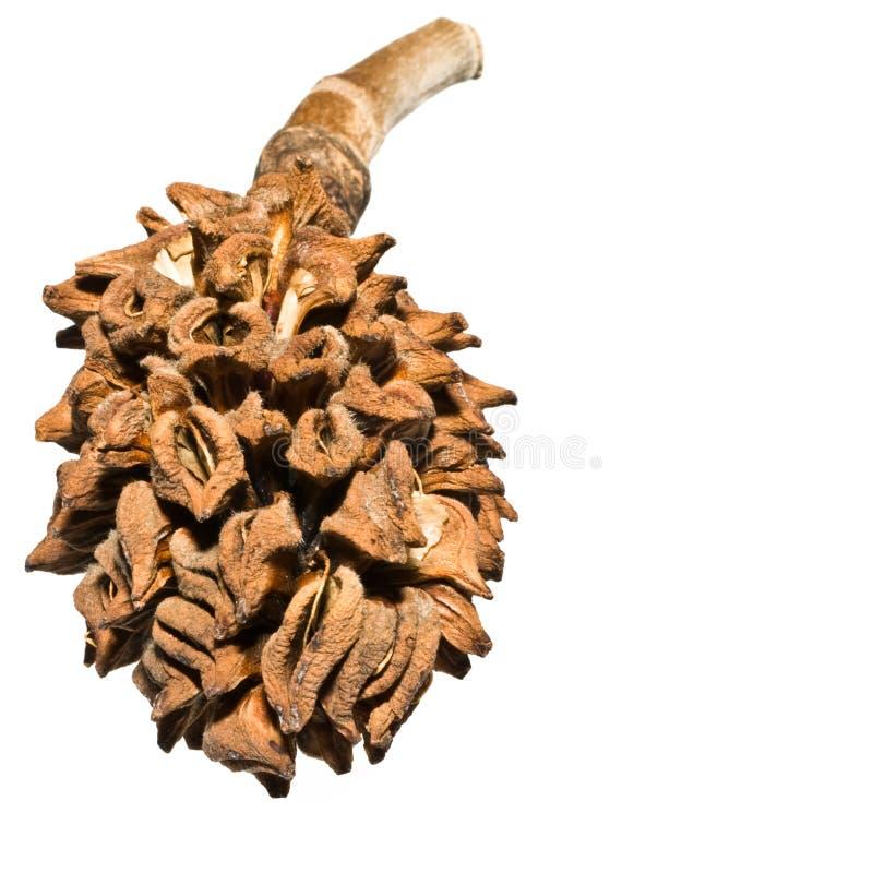 Free Magnolia Tree Seed Pod Royalty Free Stock Photo - 11250295