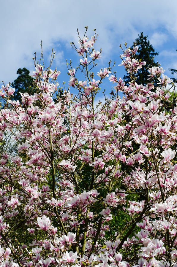 Magnolia tree. In the spring royalty free stock image