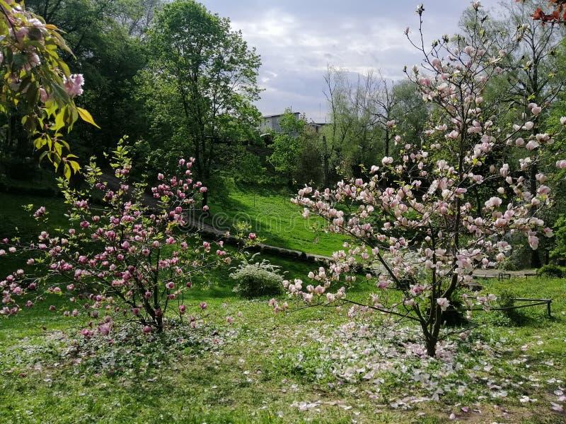 Magnolia. Treets, wood, flowers, aroma, flavor, beautiful royalty free stock photo
