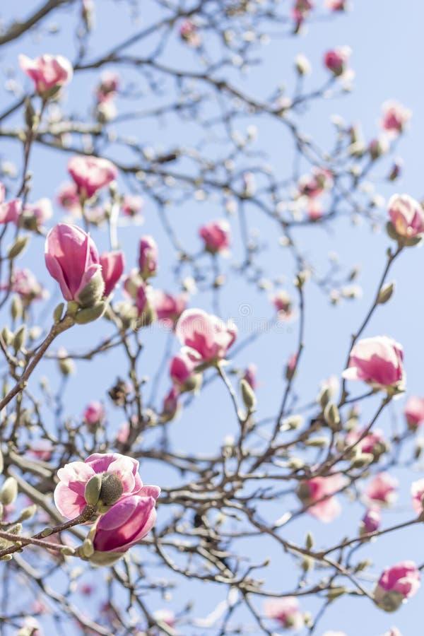 Download Magnolia Tulip Tree stock foto. Afbeelding bestaande uit april - 54091958