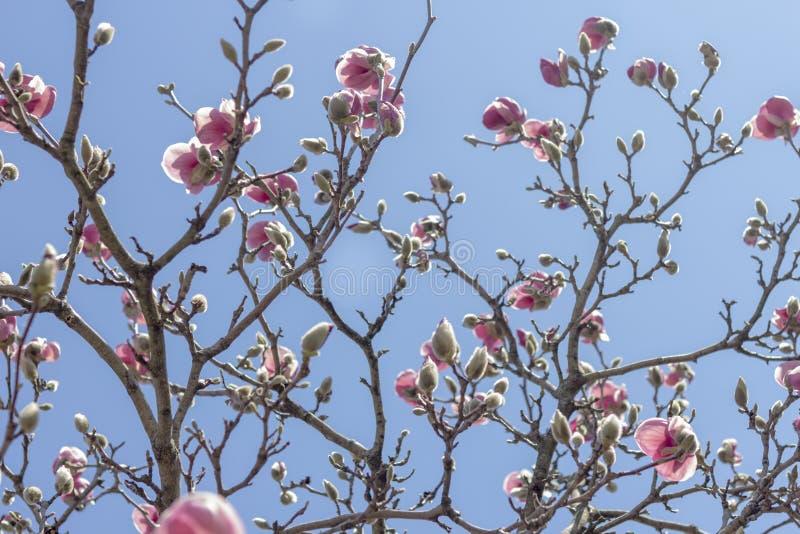 Download Magnolia Tulip Tree stock foto. Afbeelding bestaande uit magnolia - 54091964