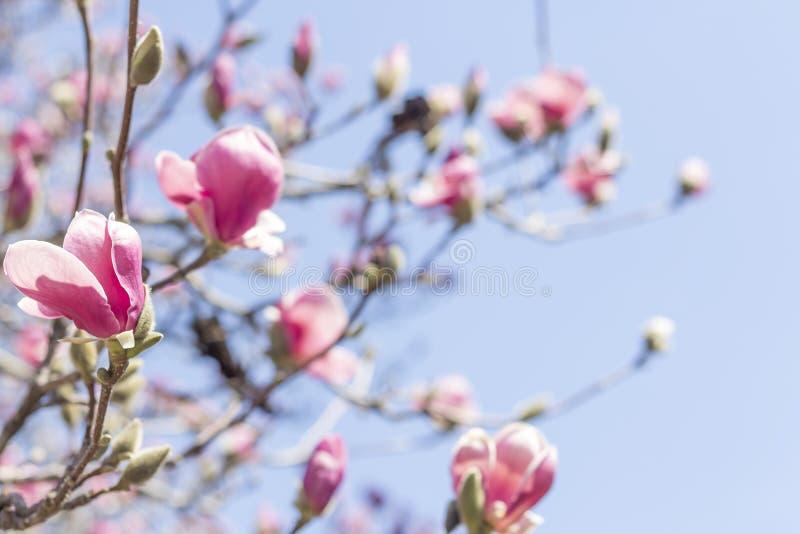 Download Magnolia Tulip Tree stock afbeelding. Afbeelding bestaande uit tulp - 54091977