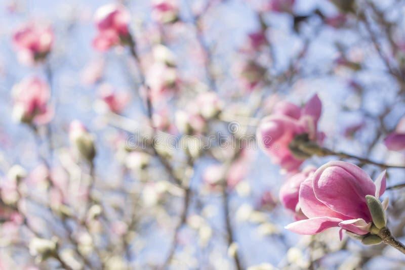 Download Magnolia Tulip Tree stock foto. Afbeelding bestaande uit magnolia - 54091986