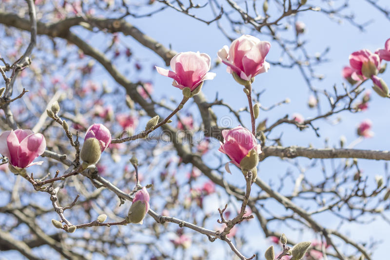 Download Magnolia Tulip Tree stock foto. Afbeelding bestaande uit up - 54092284