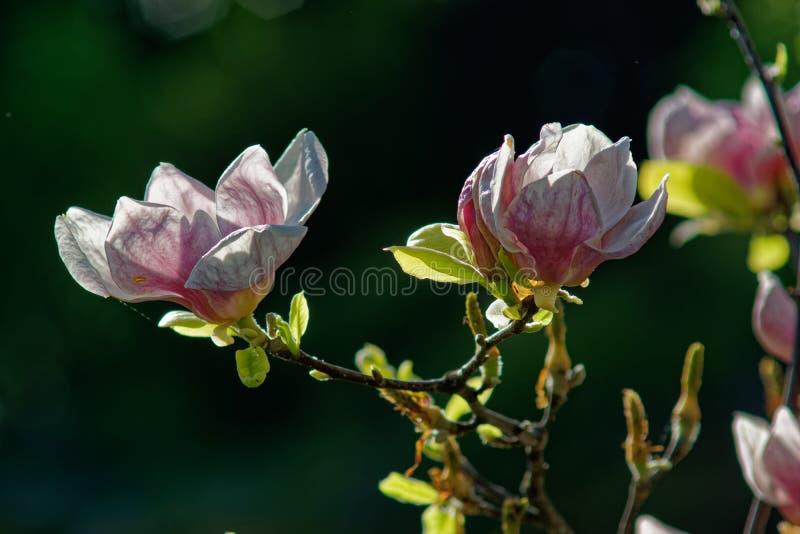 Magnolia under sun. Magnolia in the park of the Khmelnitsky University stock images