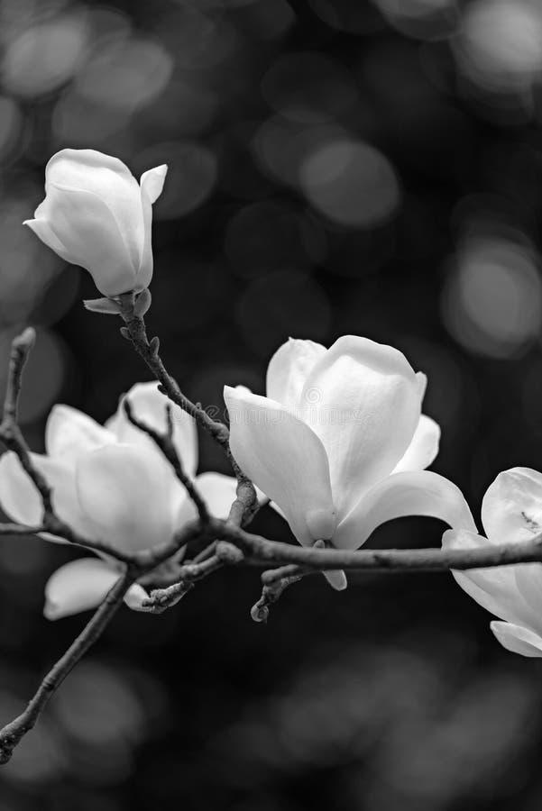 Magnolia w czarny i biały obrazy royalty free
