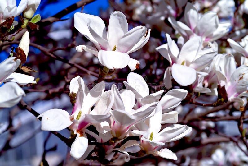 Magnolia w wiośnie zdjęcia royalty free