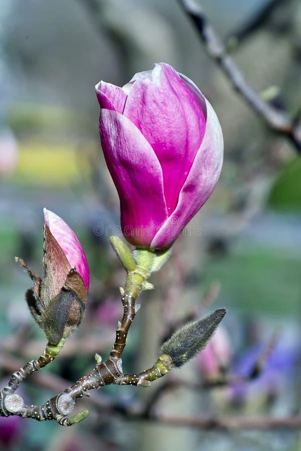 Magnolia w wiośnie obraz royalty free