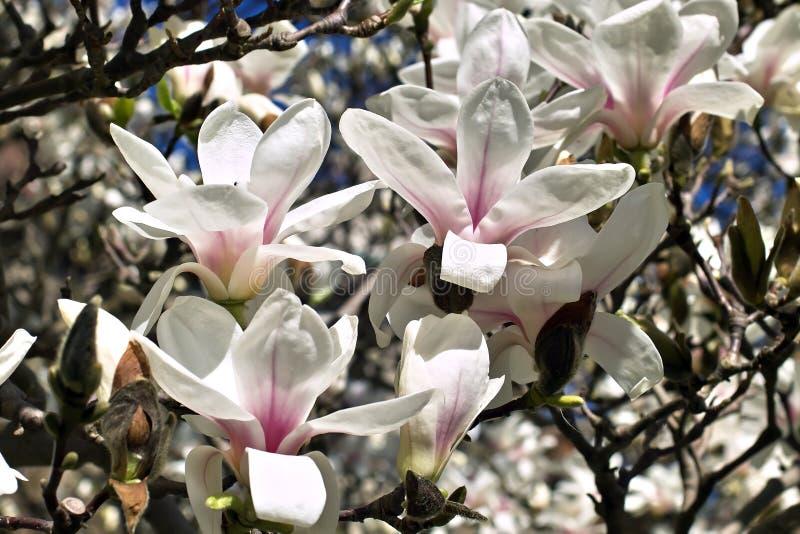 Magnolia w wiośnie obrazy stock