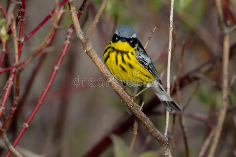 Magnolia Warbler. Perched on a branch royalty free stock image