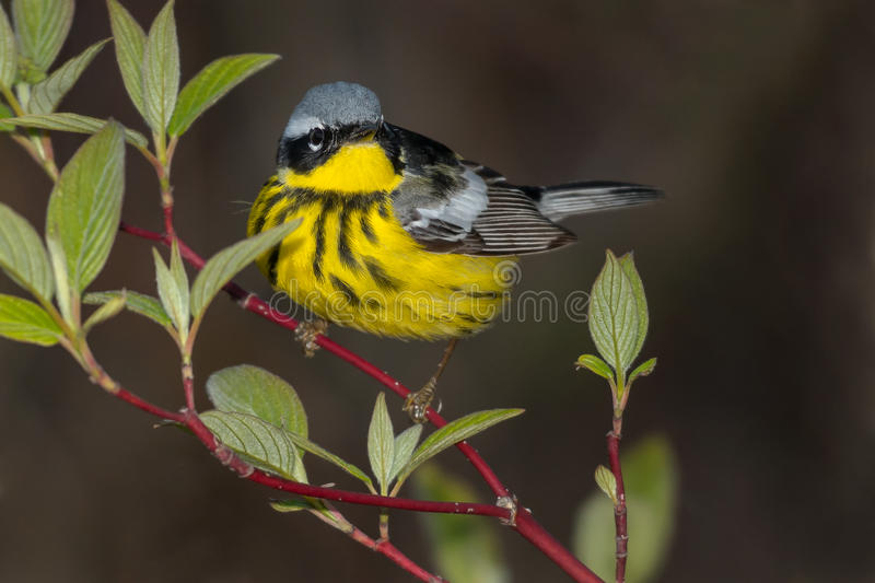Magnolia Warbler. Perched on a branch stock images