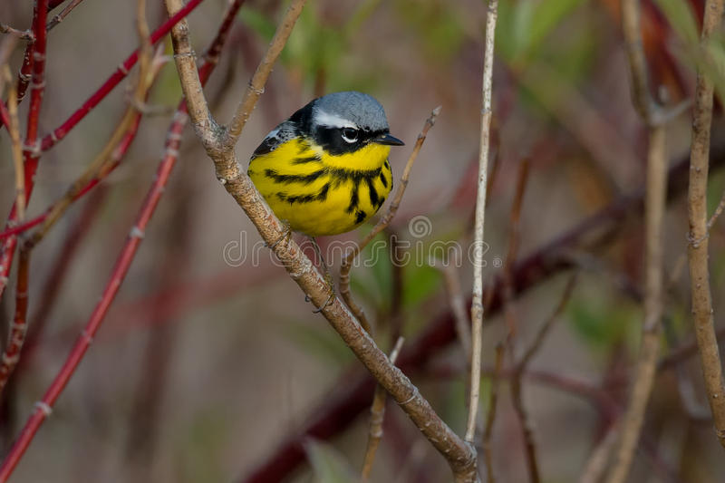Magnolia Warbler. Perched on a branch royalty free stock photo