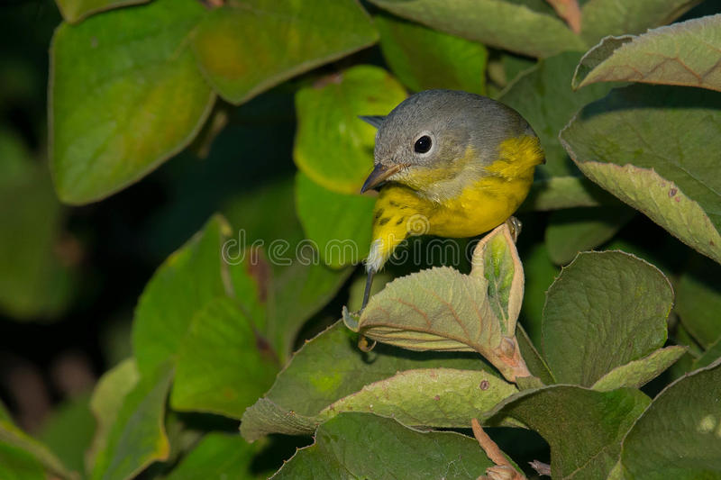 Magnolia Warbler. Perched on a leaf royalty free stock photos